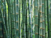 How 'green' is bamboo?